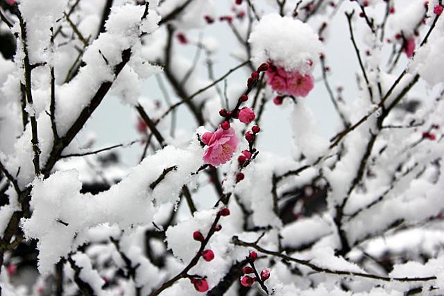 2012年2月下旬。積雪の下関長府庭園の紅梅