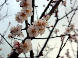 黄色の花粉が点点と。杏の花